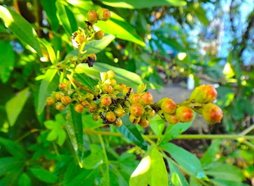 セイヨウニンジンボクの果実「チェストベリー」は、何千年も前から女性特有のデリケートな時期を安定したリズムで過ごすために使われてきたハーブです