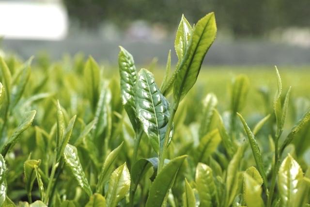 緑茶葉抽出物には、数々の健康効果があるカテキンを含むポリフェノールが豊富に含有されている。