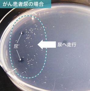 線虫によるガンの早期発見
